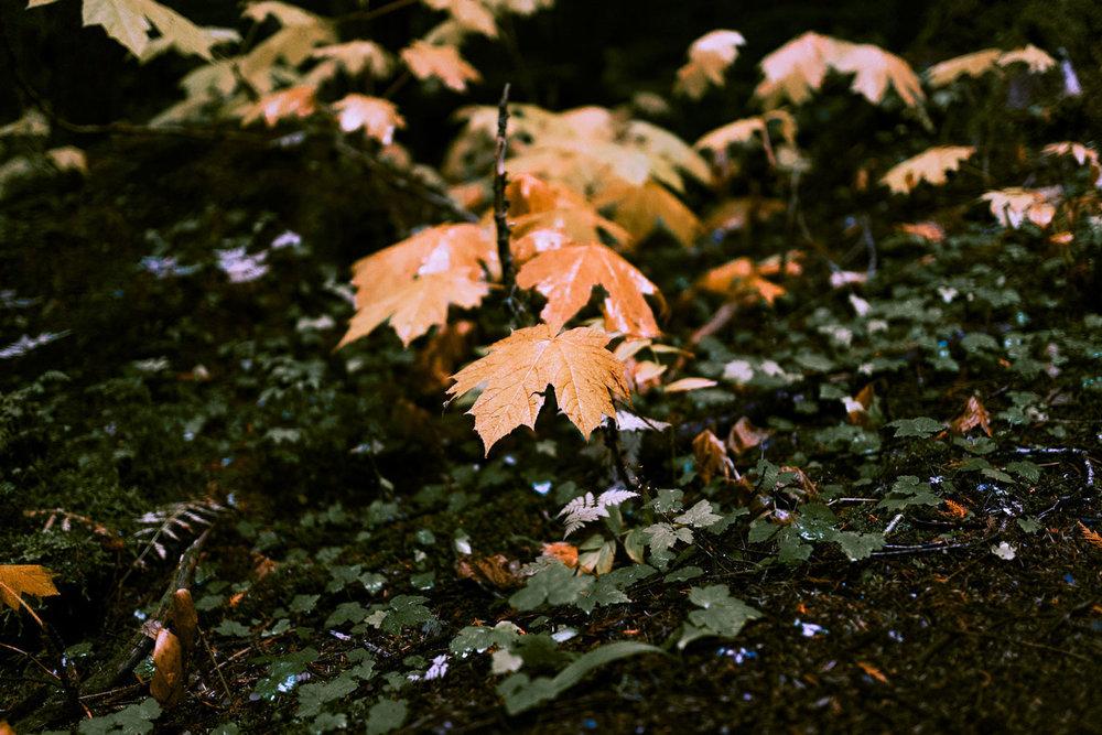 Leaves along the Cheakamus Trail
