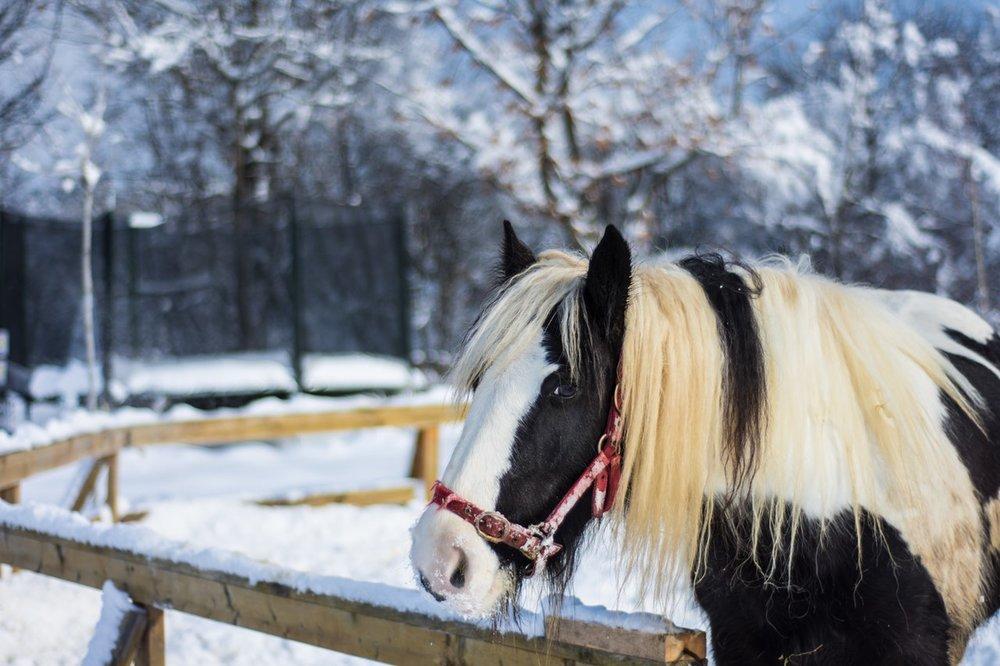 Horse Blue Mountain