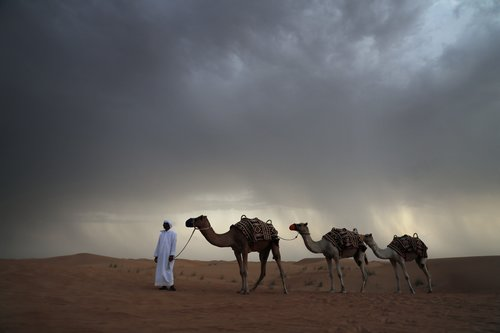 Camels and a shepherd