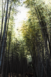 Ashimbimboo forest